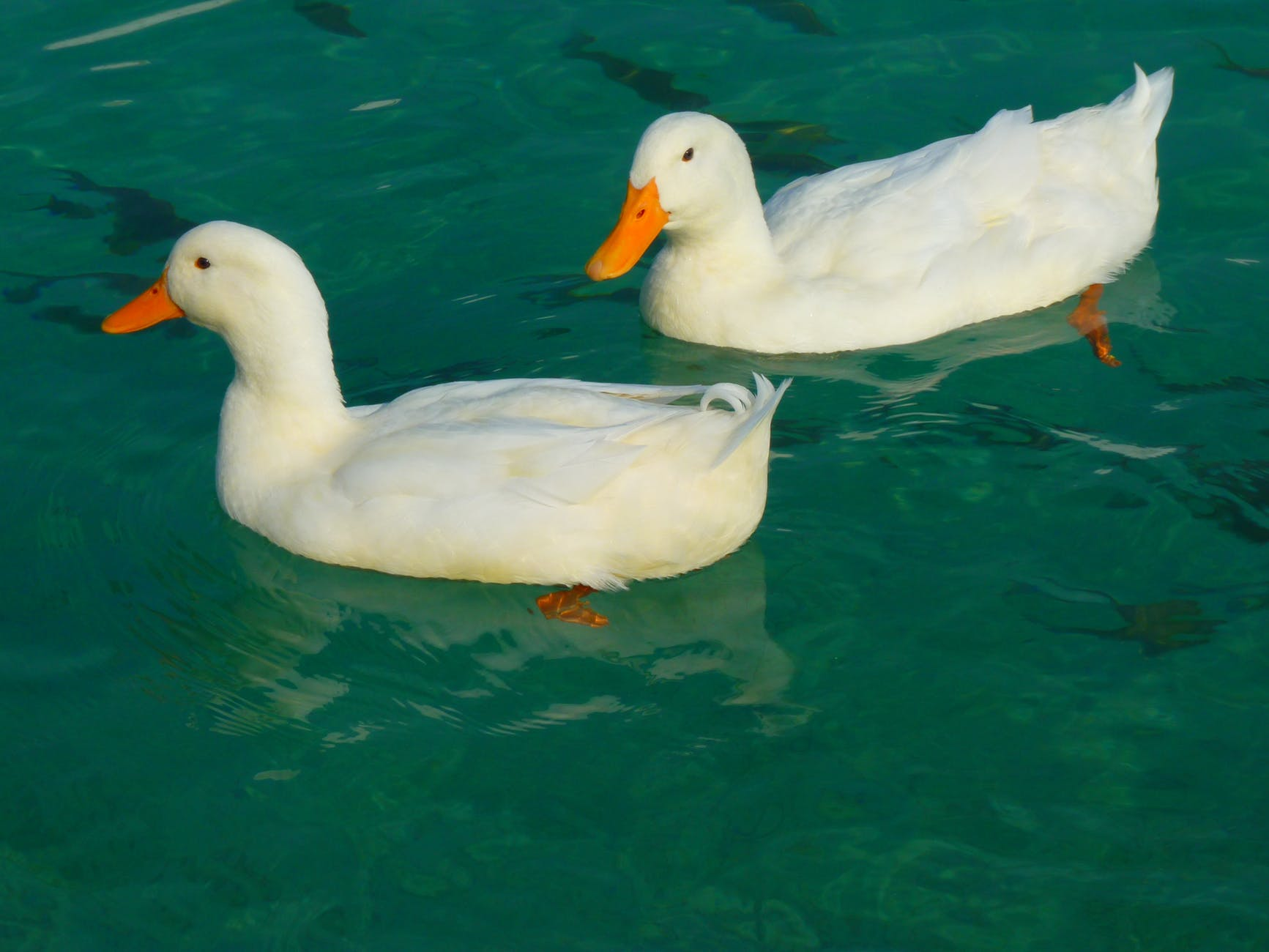 duck-white-ducks-animal-86731.jpeg